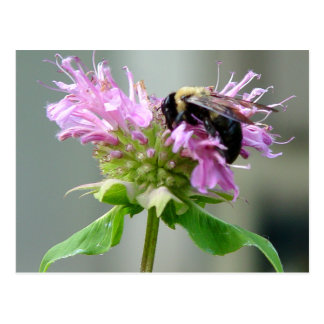 Bumble Bee on Bee Balm Flower Postcard 2