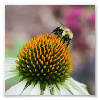 Bumble Bee on Coneflower Square Print Photograph