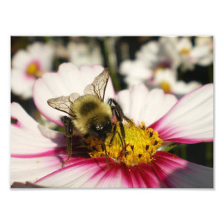 Bumble Bee on Cosmos flower Art Photo