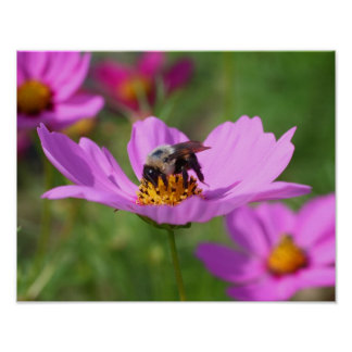 Bumble Bee On Pink Cosmos Flower Poster