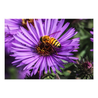 Bumble Bee on Purple Aster Flower Photographic Print