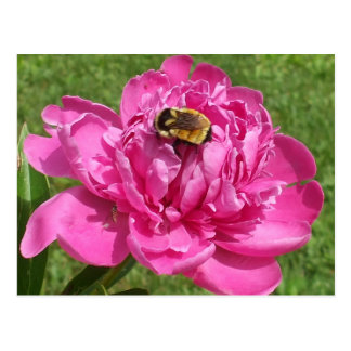 Bumble Bee on Rose Flower Postcard
