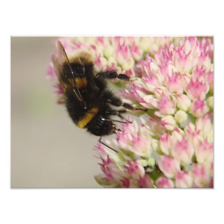 Bumble Bee On Sedum Photo Print