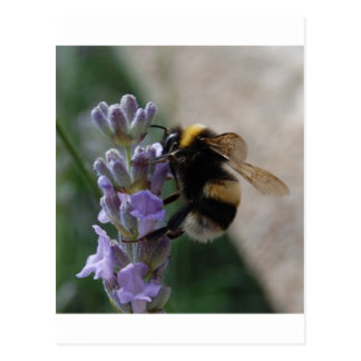 Bumble Bee On Valender Postcard