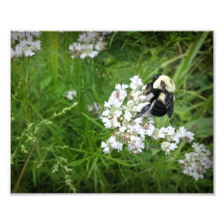 Bumble Bee on White Flowers Photo