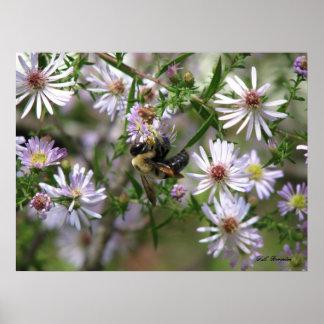Bumblebee in Asters Print