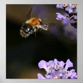 Bumblebee in flight posters