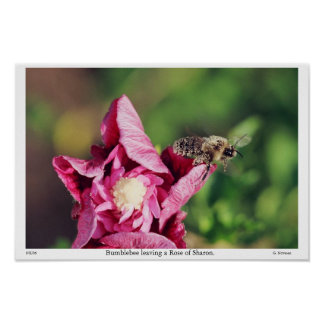 Bumblebee leaving a Rose of Sharon. Poster