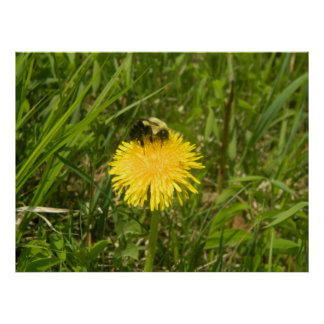Bumblebee on a Dandelion Poster