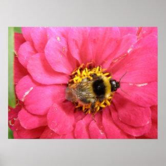 Bumblebee on a Zinnia Print
