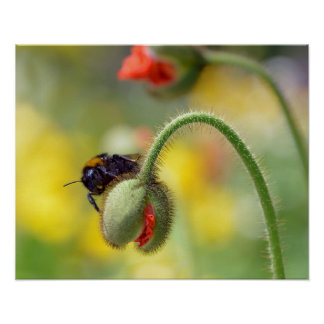 Bumblebee on bud of poppy poster