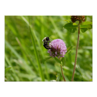 Bumblebee on Purple Clover Takes Flight Poster