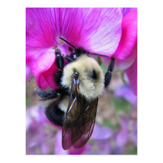Bumblebee on Sweet Pea Postcard