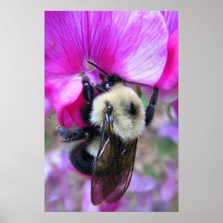Bumblebee on Sweet Pea Poster
