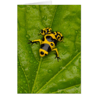 Bumblebee Poison Dart Frog Card