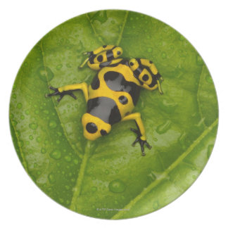 Bumblebee Poison Dart Frog Plate