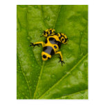 Bumblebee Poison Dart Frog Post Cards