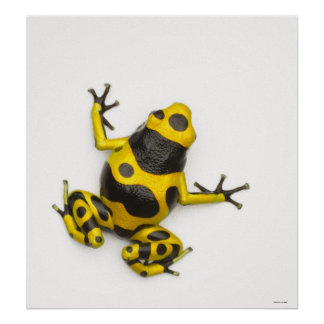 Bumblebee Poison Dart Frog Poster