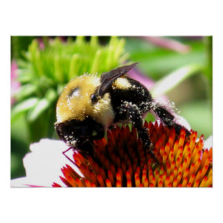 Bumblebee with Pollen Poster