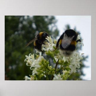 Bumblebees Poster