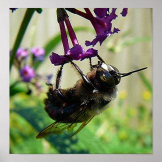 Bumblee Bee macro Poster
