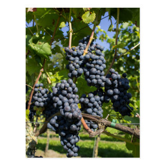 Bunch of blue grapes postcard