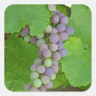 Bunch of purple grapes square sticker