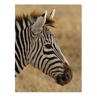 Burchell s Zebra Equus burchellii Ngorongoro Postcard