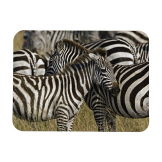 Burchelli s Zebra Equus burchellii Masai Mara Magnet
