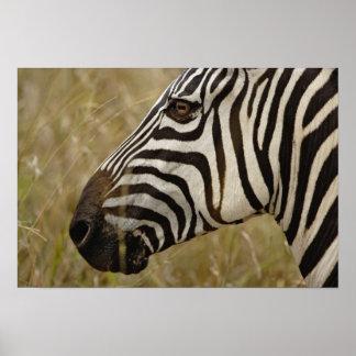 Burchelli s Zebra Equus burchellii Masai Poster