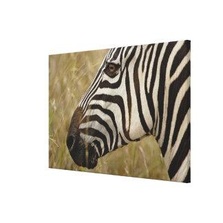Burchelli's Zebra, Equus burchellii, Masai Gallery Wrapped Canvas