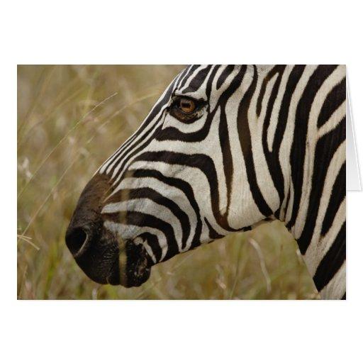 Burchelli's Zebra, Equus burchellii, Masai Cards