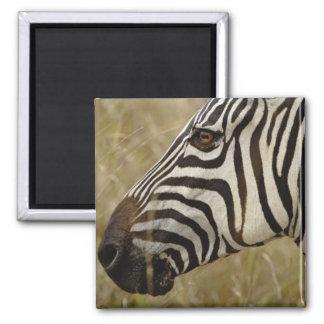 Burchelli's Zebra, Equus burchellii, Masai Magnet