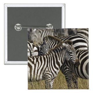 Burchelli's Zebra, Equus burchellii, Masai Mara, 15 Cm Square Badge