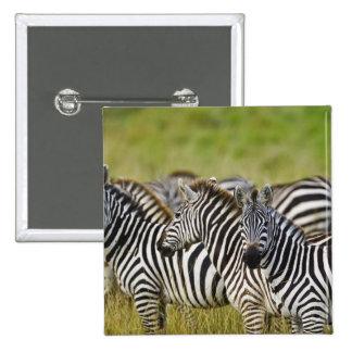 Burchelli's Zebra, Equus burchellii, Masai Mara, 2 15 Cm Square Badge