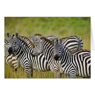 Burchelli's Zebra, Equus burchellii, Masai Mara, 2 Card