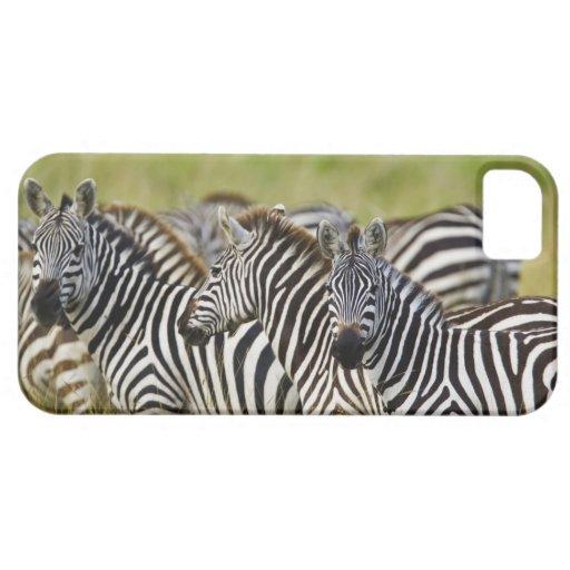 Burchelli's Zebra, Equus burchellii, Masai Mara, 2 iPhone 5 Cover