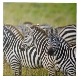 Burchelli's Zebra, Equus burchellii, Masai Mara, 2 Large Square Tile