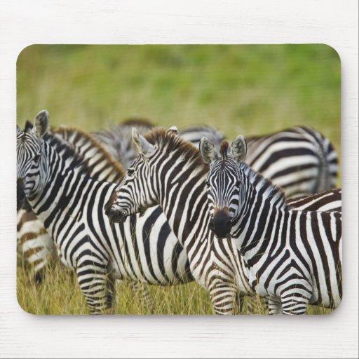 Burchelli's Zebra, Equus burchellii, Masai Mara, 2 Mouse Pads