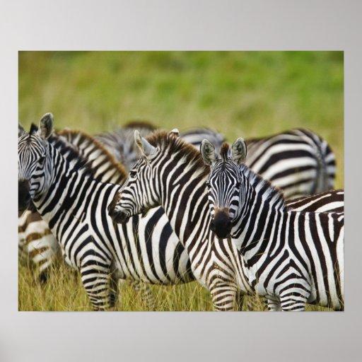 Burchelli's Zebra, Equus burchellii, Masai Mara, 2 Print