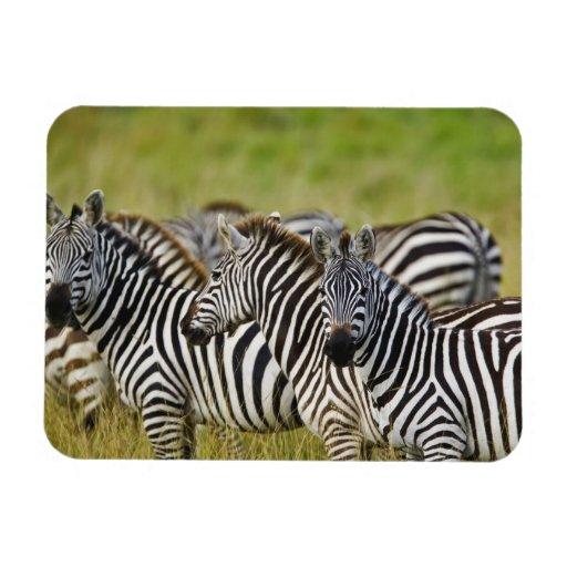 Burchelli's Zebra, Equus burchellii, Masai Mara, 2 Rectangle Magnet