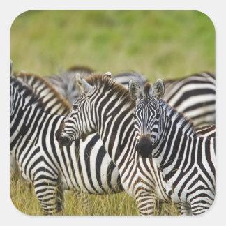 Burchelli's Zebra, Equus burchellii, Masai Mara, 2 Square Stickers