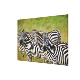 Burchelli's Zebra, Equus burchellii, Masai Mara, 2 Stretched Canvas Print