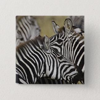 Burchelli's Zebra, Equus burchellii, Masai Mara, 3 15 Cm Square Badge
