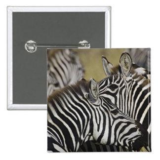 Burchelli's Zebra, Equus burchellii, Masai Mara, 3 Button