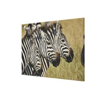 Burchelli's Zebra, Equus burchellii, Masai Mara, 3 Stretched Canvas Prints