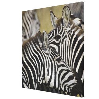 Burchelli's Zebra, Equus burchellii, Masai Mara, 3 Stretched Canvas Print
