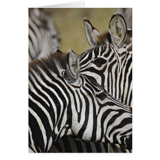 Burchelli's Zebra, Equus burchellii, Masai Mara, 3 Greeting Cards