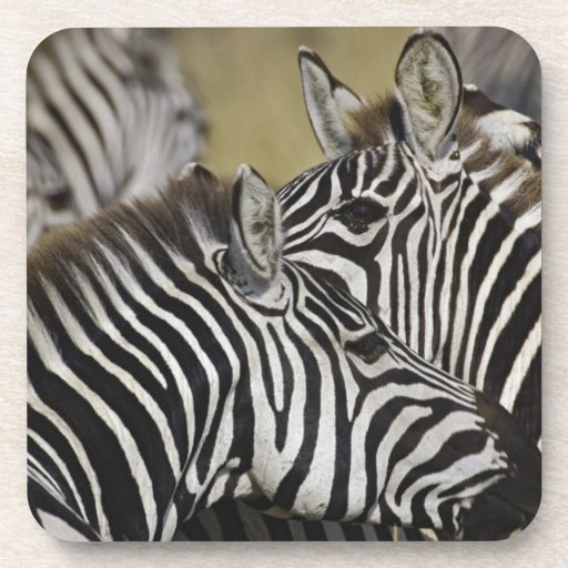 Burchelli's Zebra, Equus burchellii, Masai Mara, 3 Drink Coaster