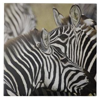 Burchelli's Zebra, Equus burchellii, Masai Mara, 3 Large Square Tile
